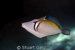 Lei Triggerfish by Stuart Ganz 